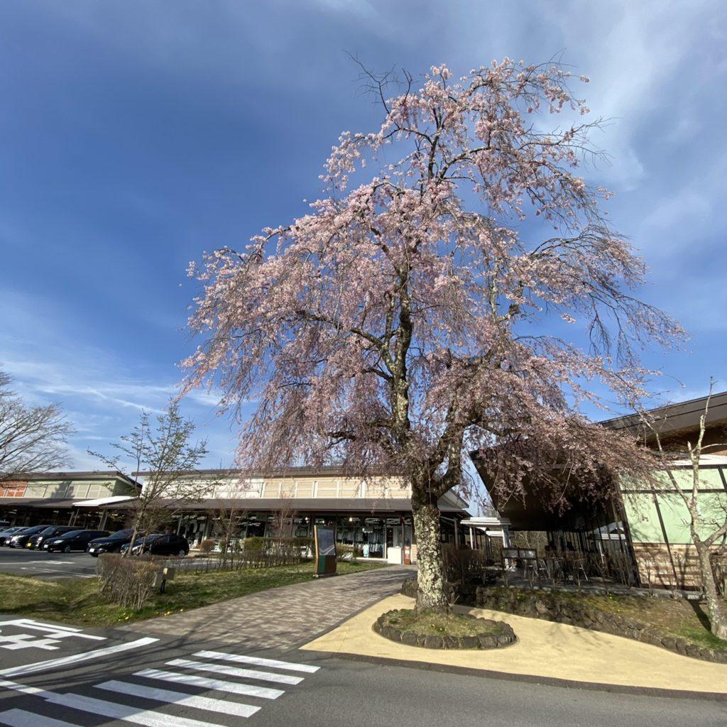 軽井沢 プリンスショッピングプラザ 桜